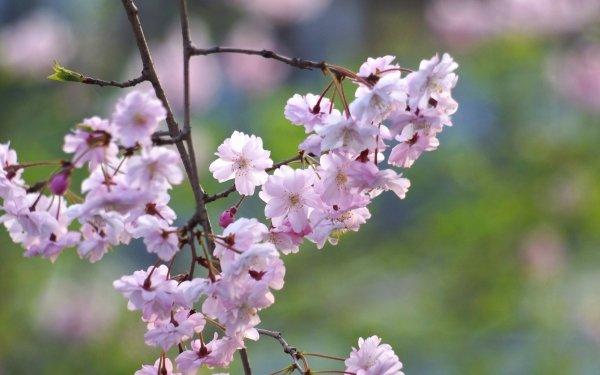 Tierra/Naturaleza Florecer Flores Prunus Blossom Primavera Bokeh Fondo de pantalla HD   Fondo de Escritorio
