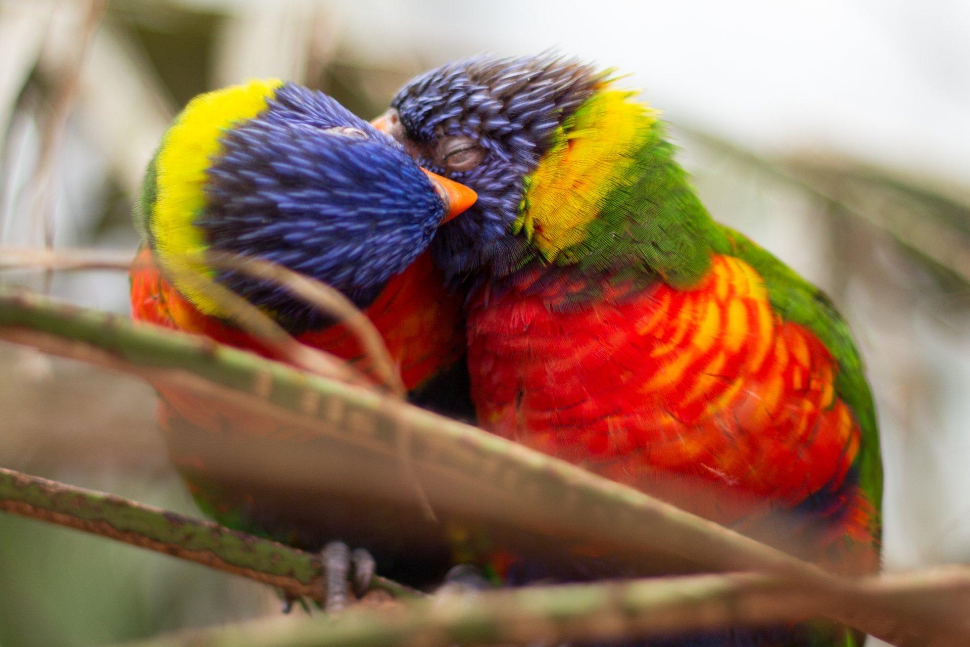 A Beautiful Couple Of Lorikeet Birds Wallpaper Hd: Rainbow Lorikeets HD Wallpaper