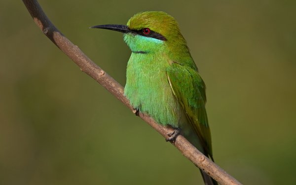Animal Bee-eater Birds Bee-Eaters Green bee-eater HD Wallpaper | Background Image