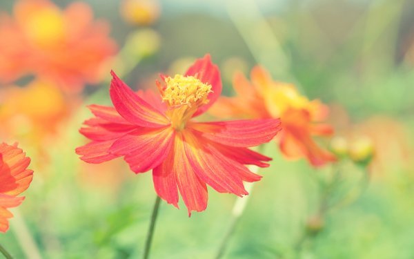 Earth Cosmos Flowers Nature Flower HD Wallpaper   Background Image