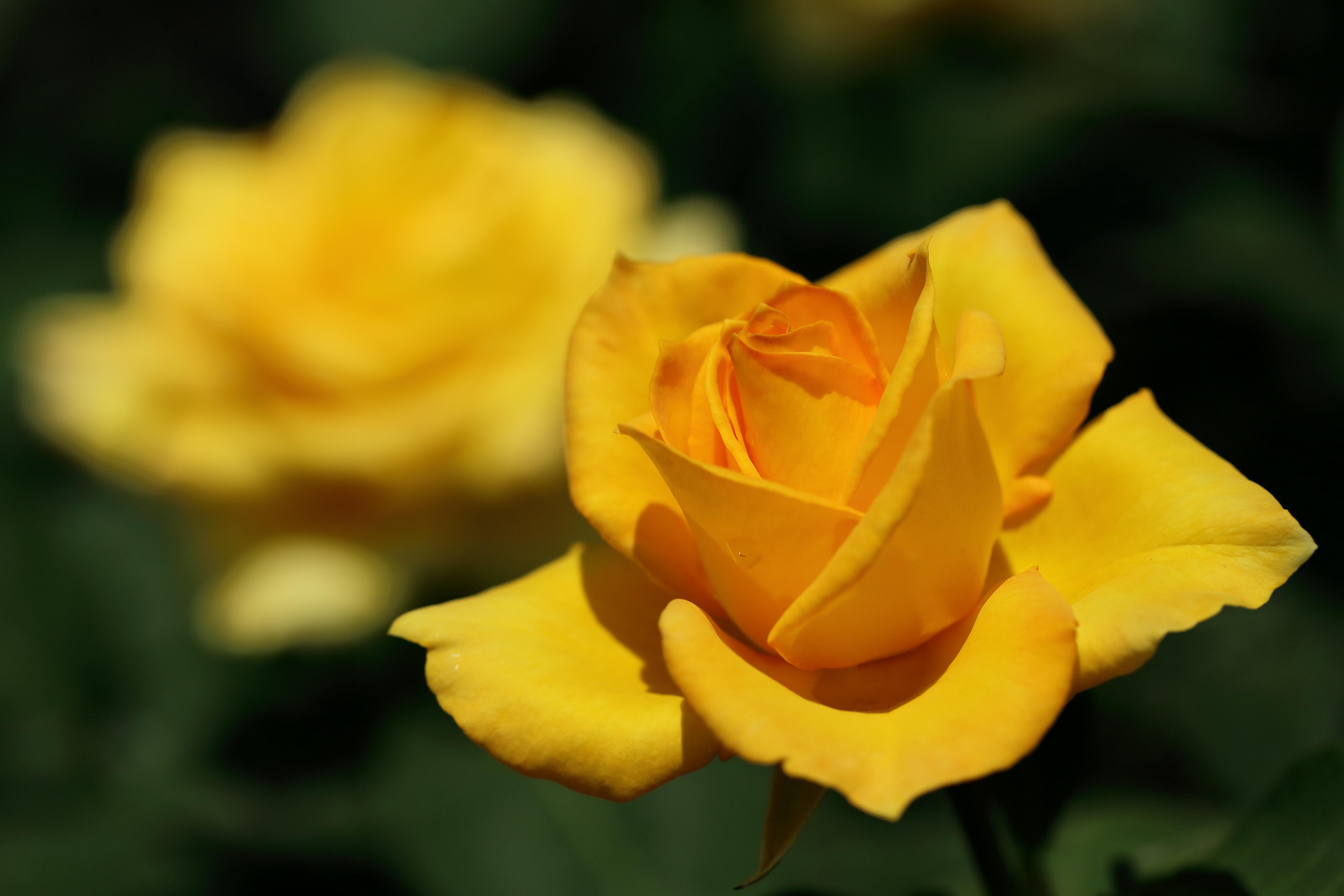 玫瑰花图片 高清壁纸 大图 植物壁纸-第3张