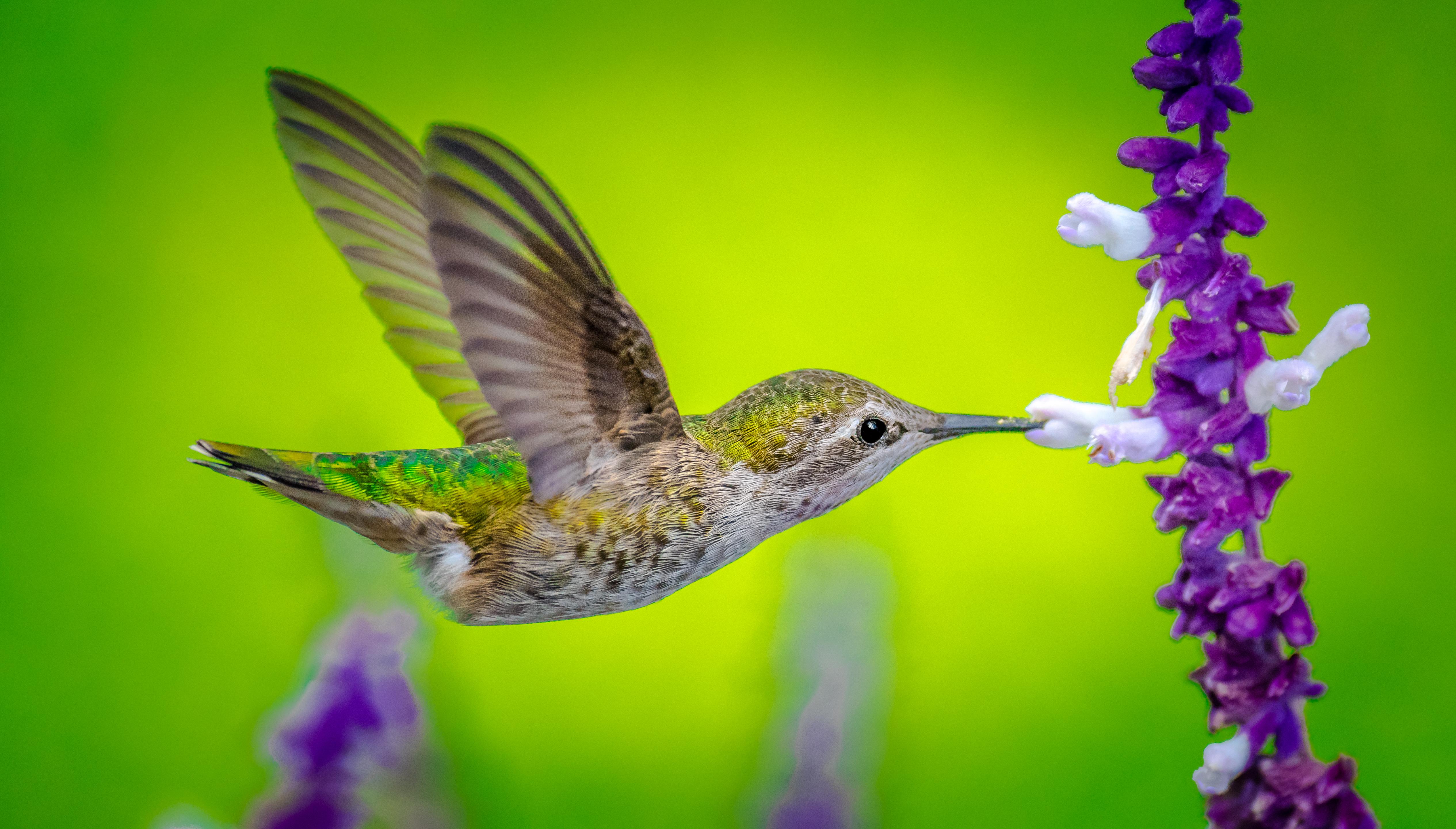 Hummingbird 4k Ultra Hd Wallpaper Background Image 5061x2880