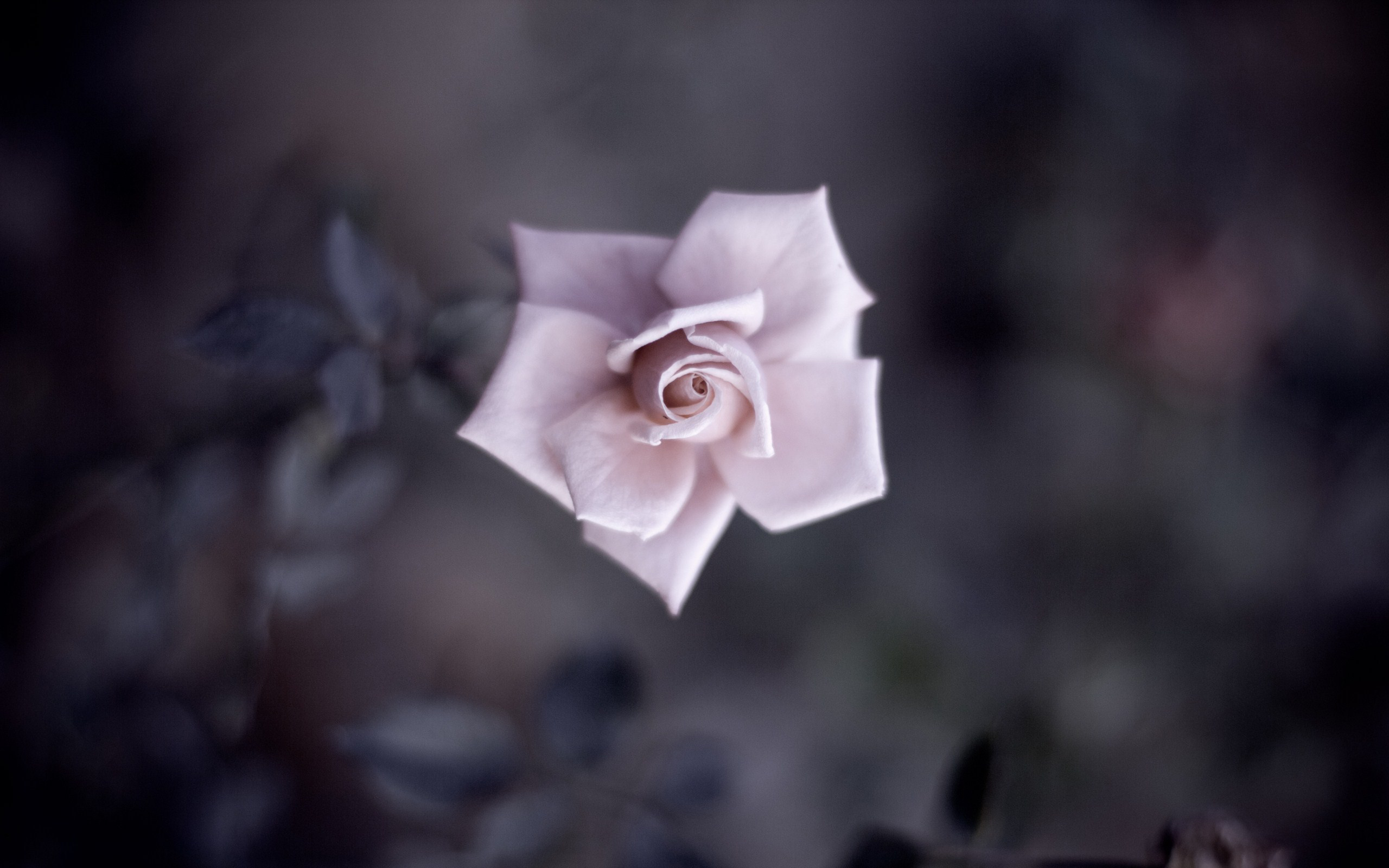 Rose Full HD Wallpaper And Background Image