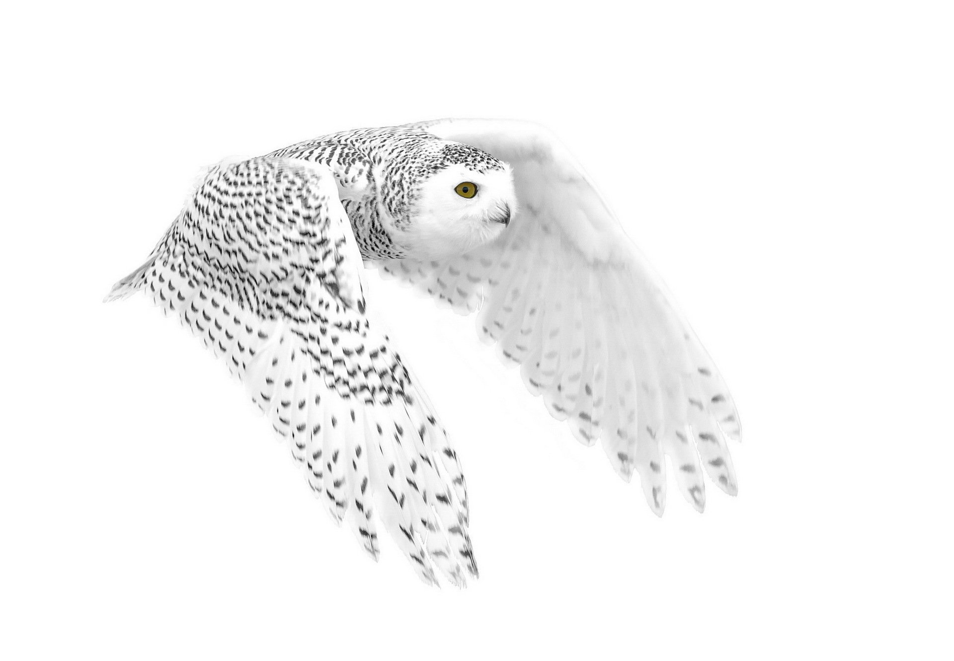 Snowy Owl Full HD Wallpaper and Background | 1920x1331 ...