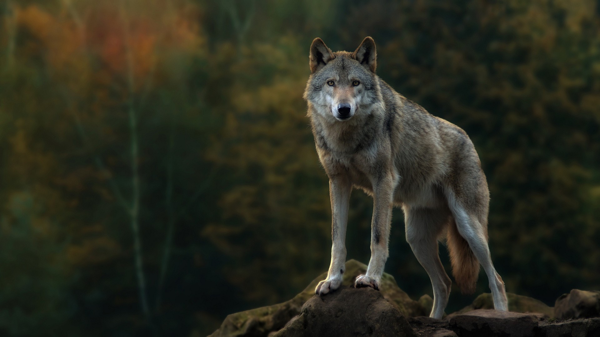 Gray Wolf HD Wallpaper