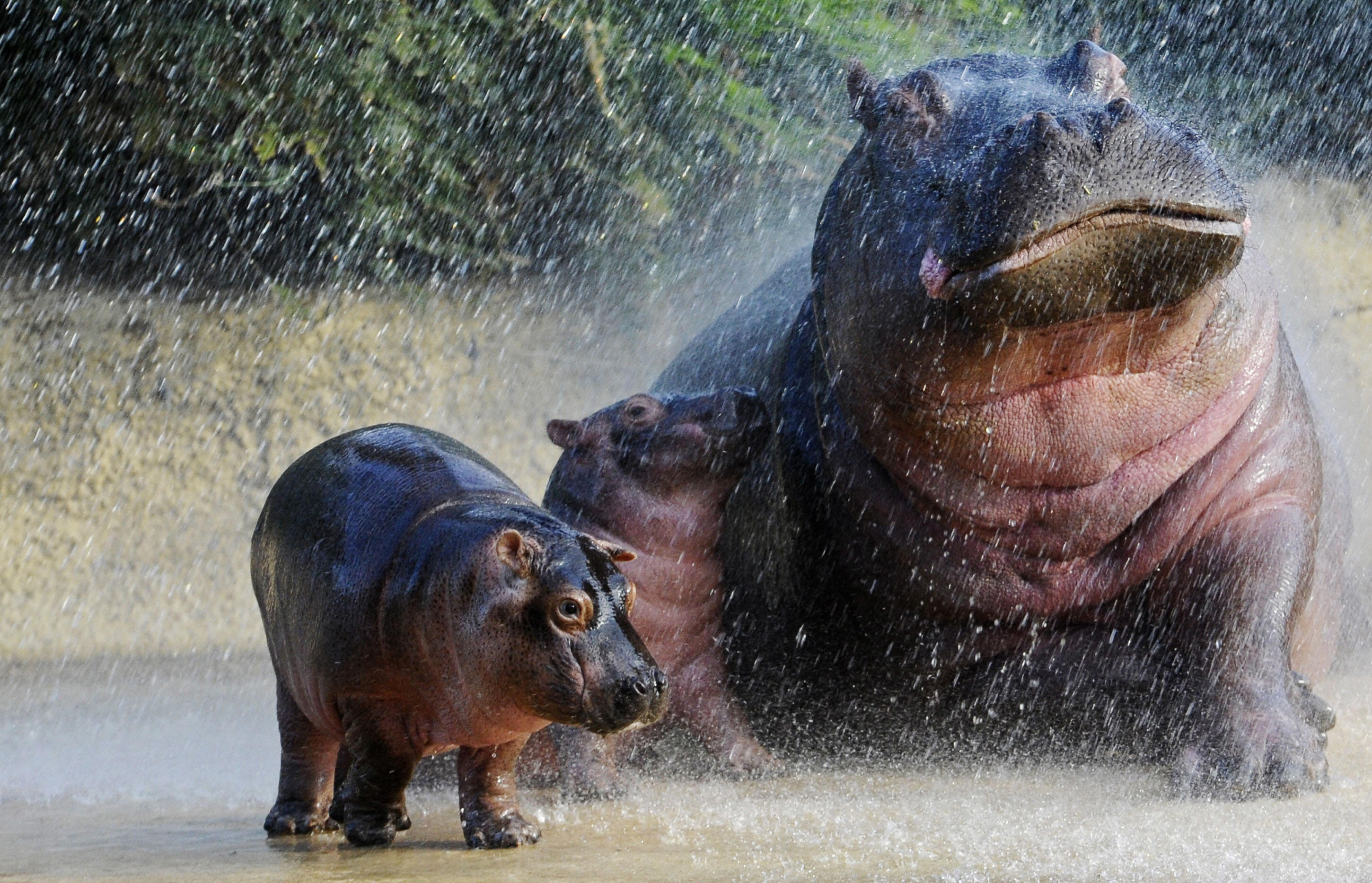 animal hippo wallpaper 1600x1200 - photo #19
