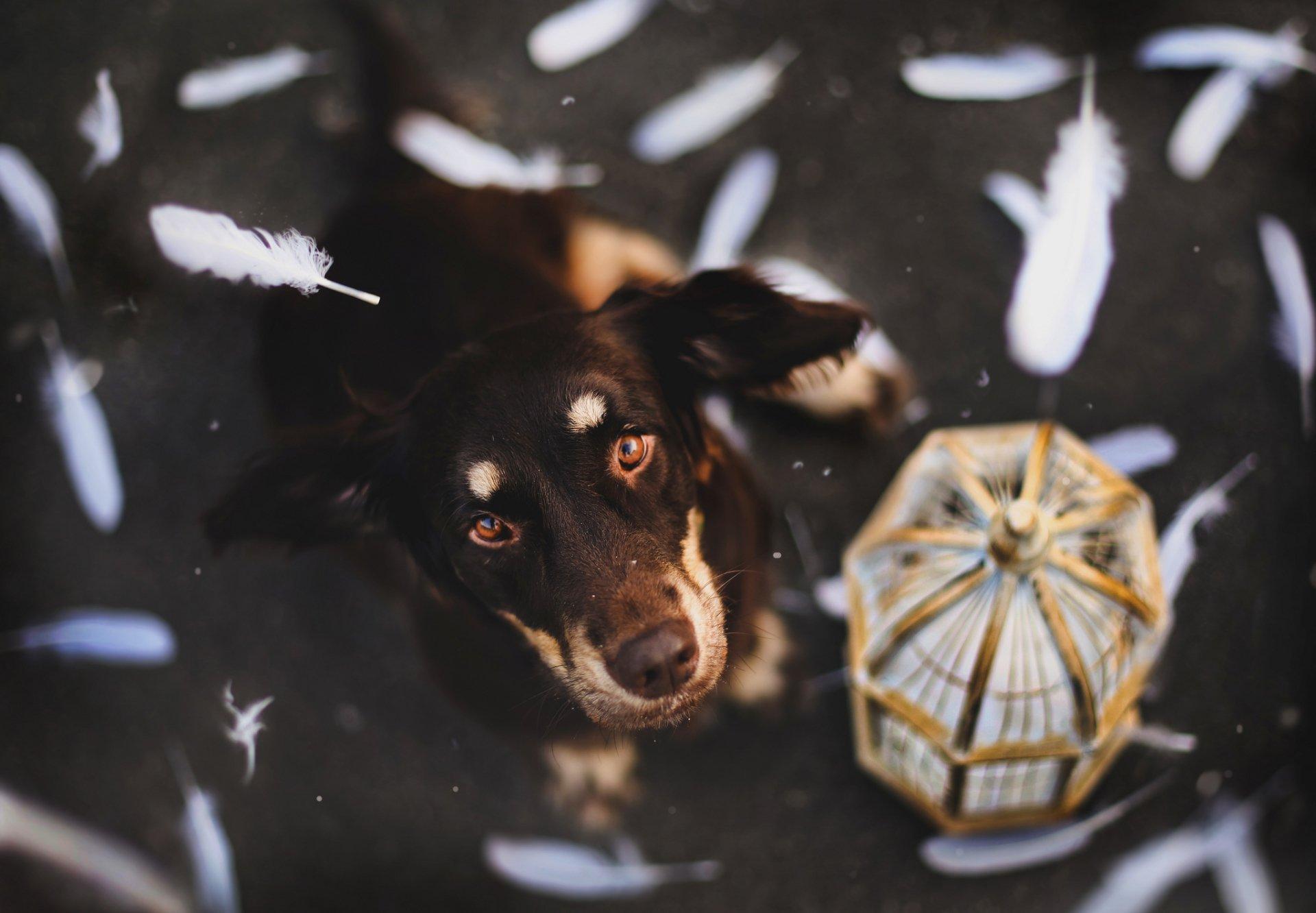 Animal - Australian Shepherd  Dog Wallpaper