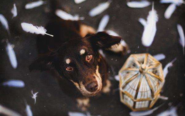 Animal Australian Shepherd Dogs Dog HD Wallpaper   Background Image