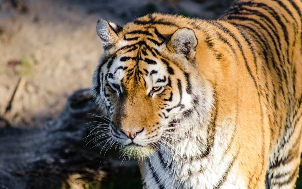 Animal Tiger Cats Cat Wildlife HD Wallpaper   Background Image