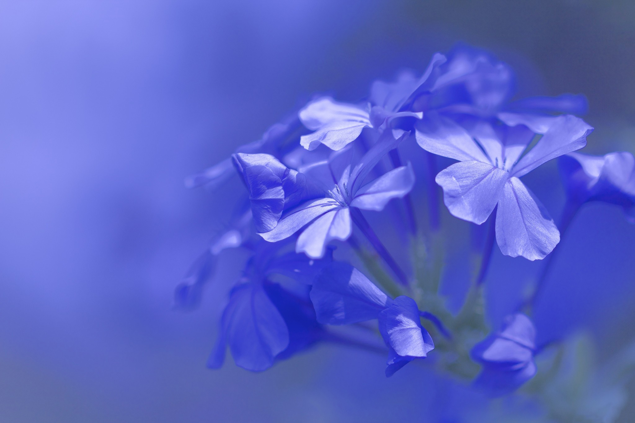 macro blue flower wallpaper - photo #14