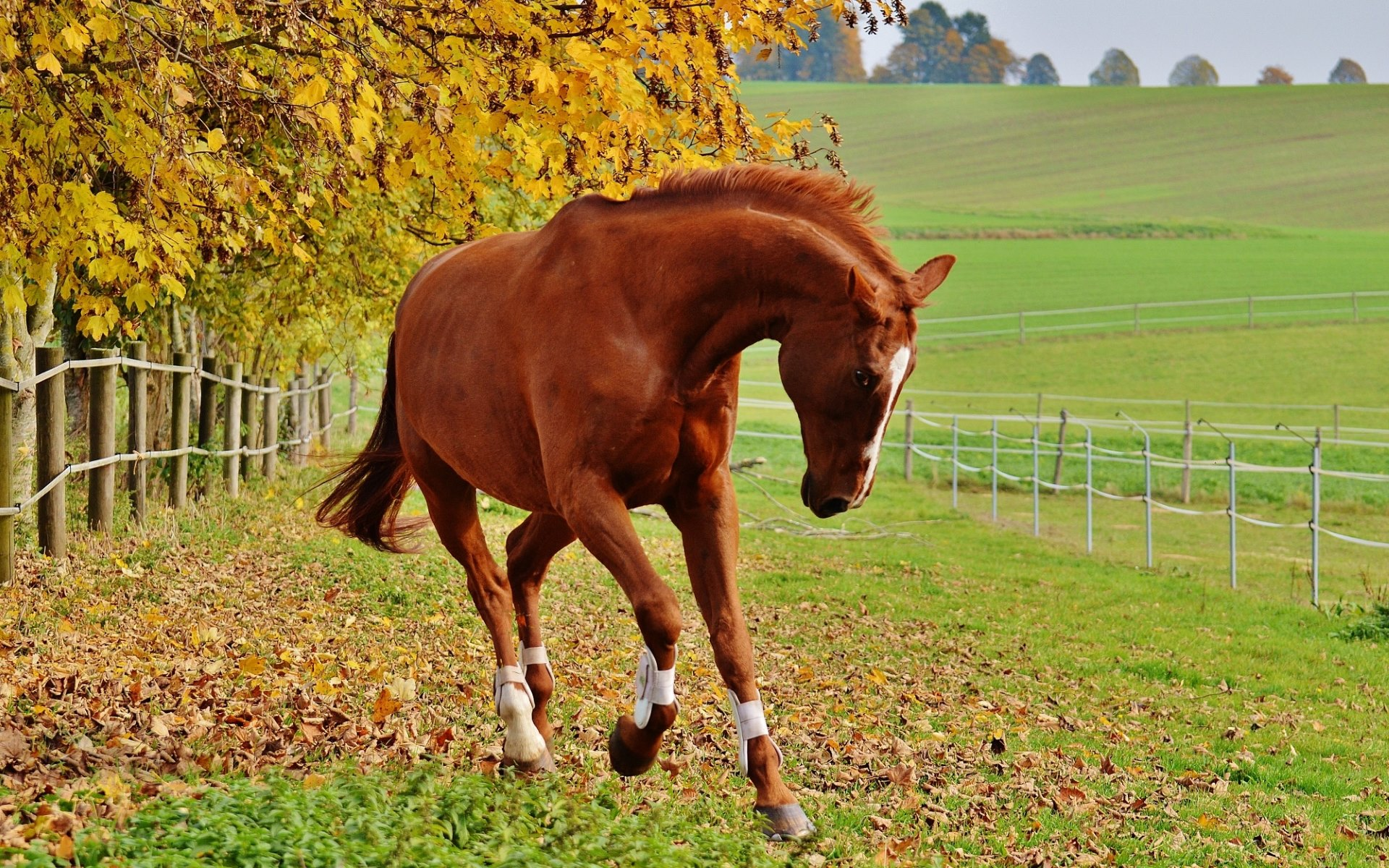 Liver Chestnut Horse Hd Wallpaper Background Image 1920x1200 Id 657217 Wallpaper Abyss