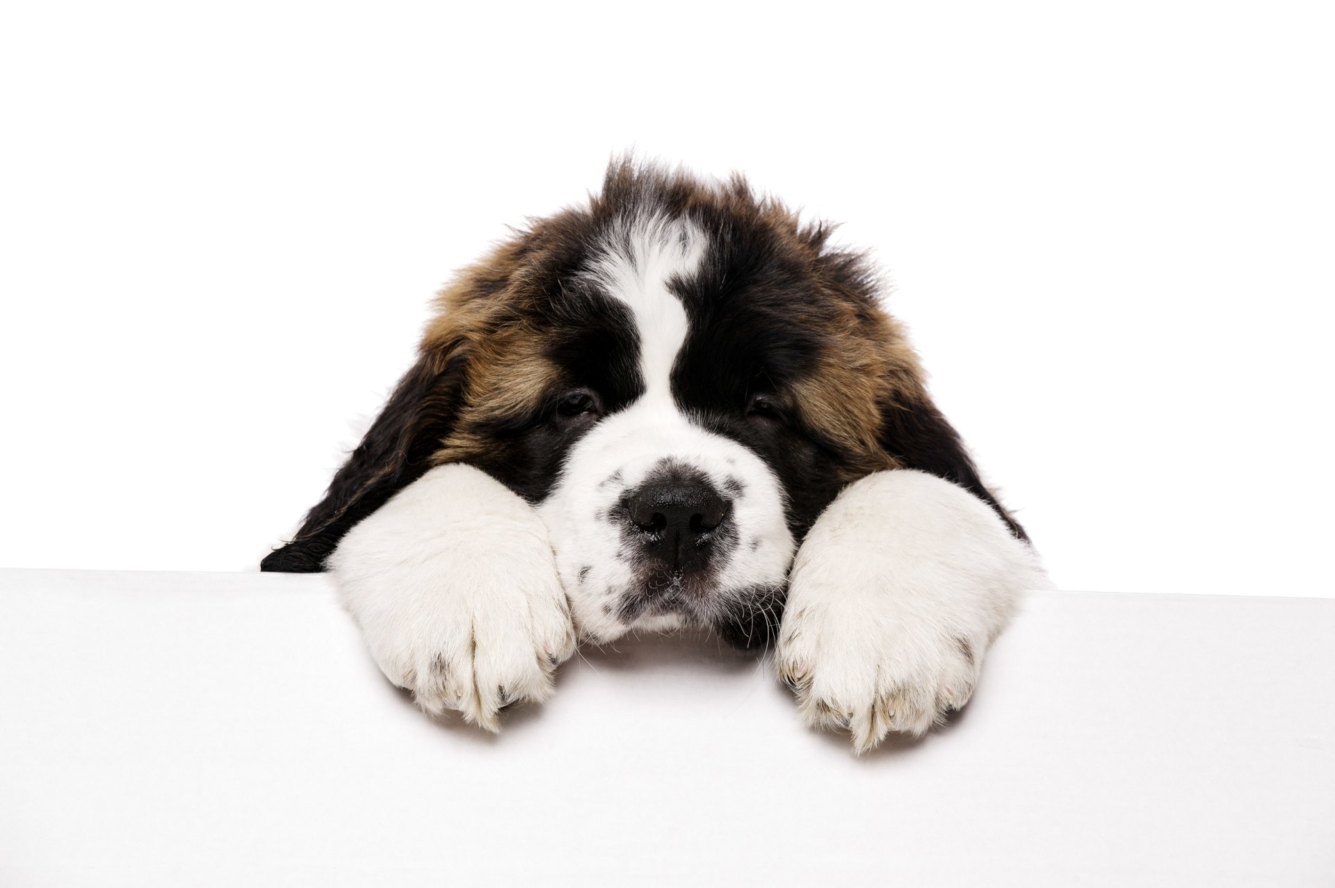 Saint Bernard HD Wallpaper