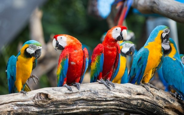 Animal Macaw Birds Parrots Blue-And-Yellow Macaw Scarlet Macaw Bird Parrot HD Wallpaper   Background Image