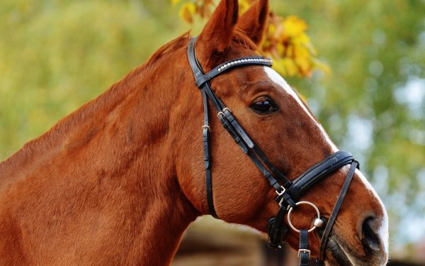 Animal Horse Close-Up Bokeh HD Wallpaper | Background Image