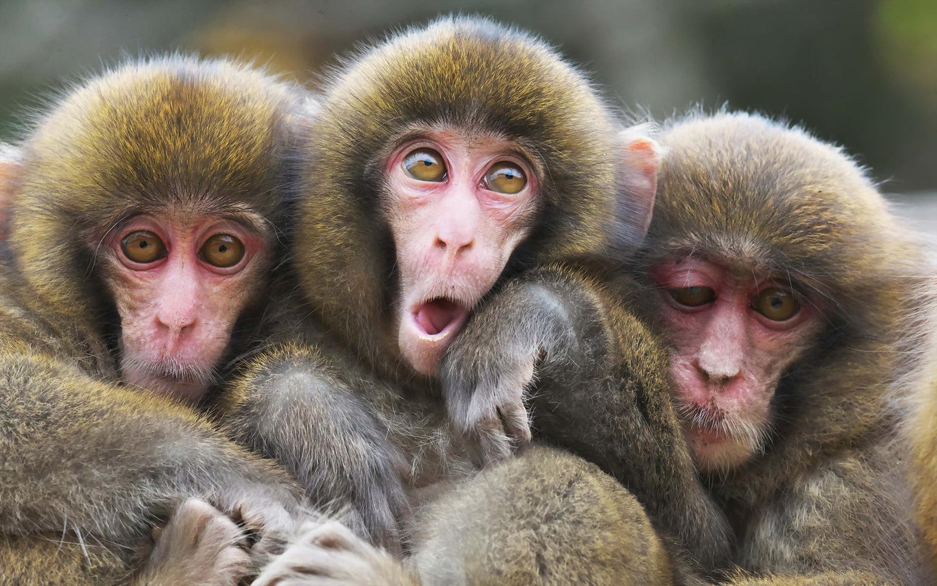 japanese macaque computer wallpapers desktop backgrounds