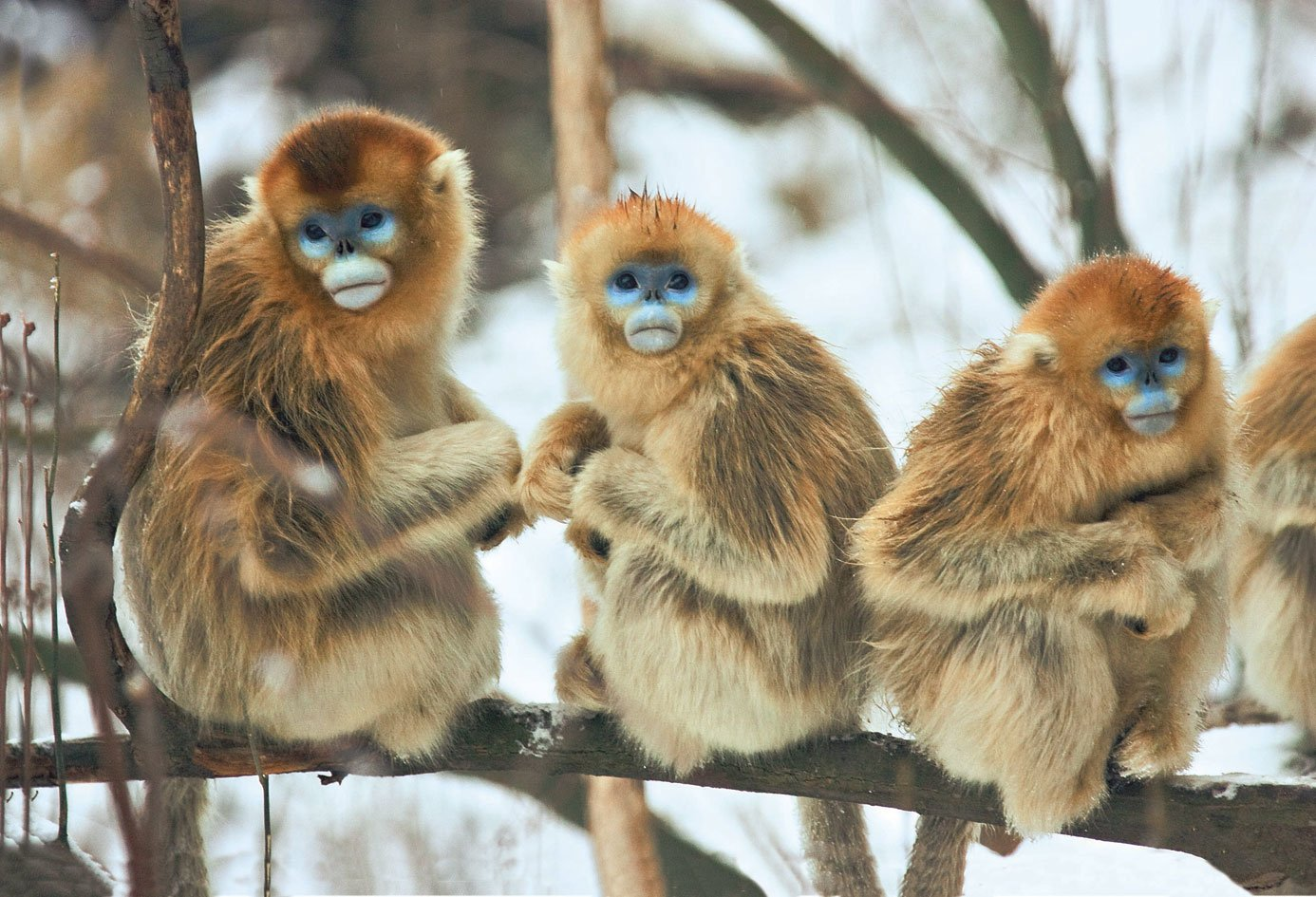 Monkey Wallpaper 16 golden snub-nosed monkey hd wallpapers | backgrounds