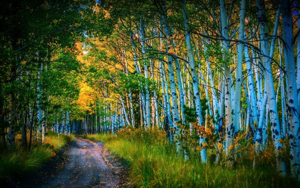 Earth Forest Nature Path Birch Tree HD Wallpaper | Background Image