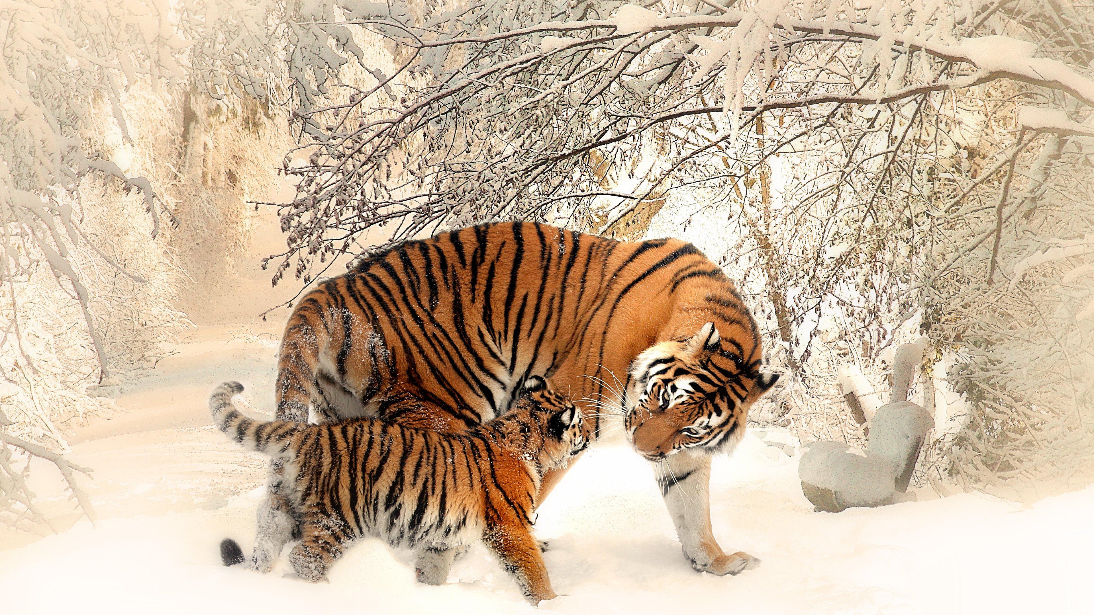 Baby Snow Tiger Wallpaper