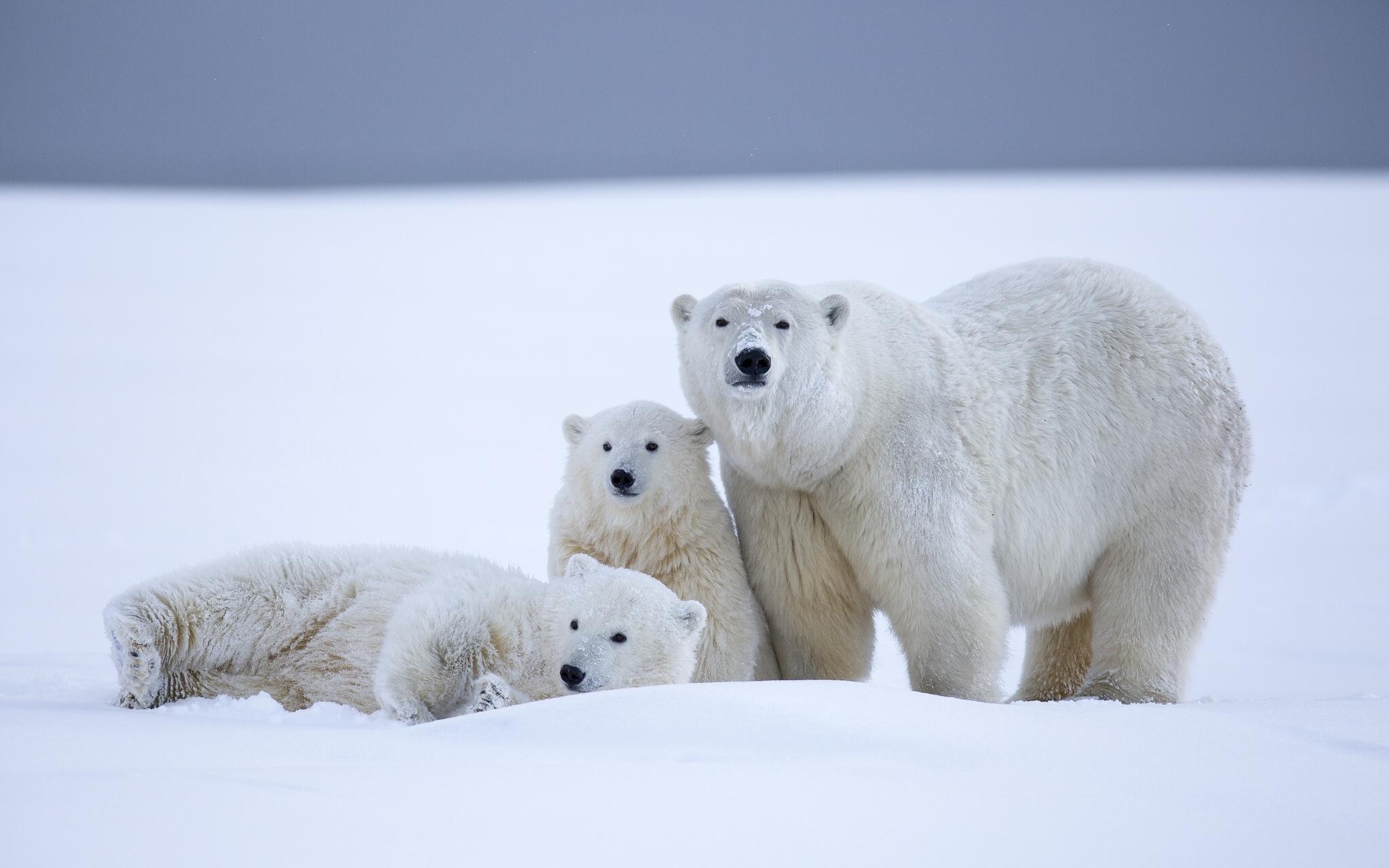 polar bear hd wallpaper background image 2048x1280. Black Bedroom Furniture Sets. Home Design Ideas