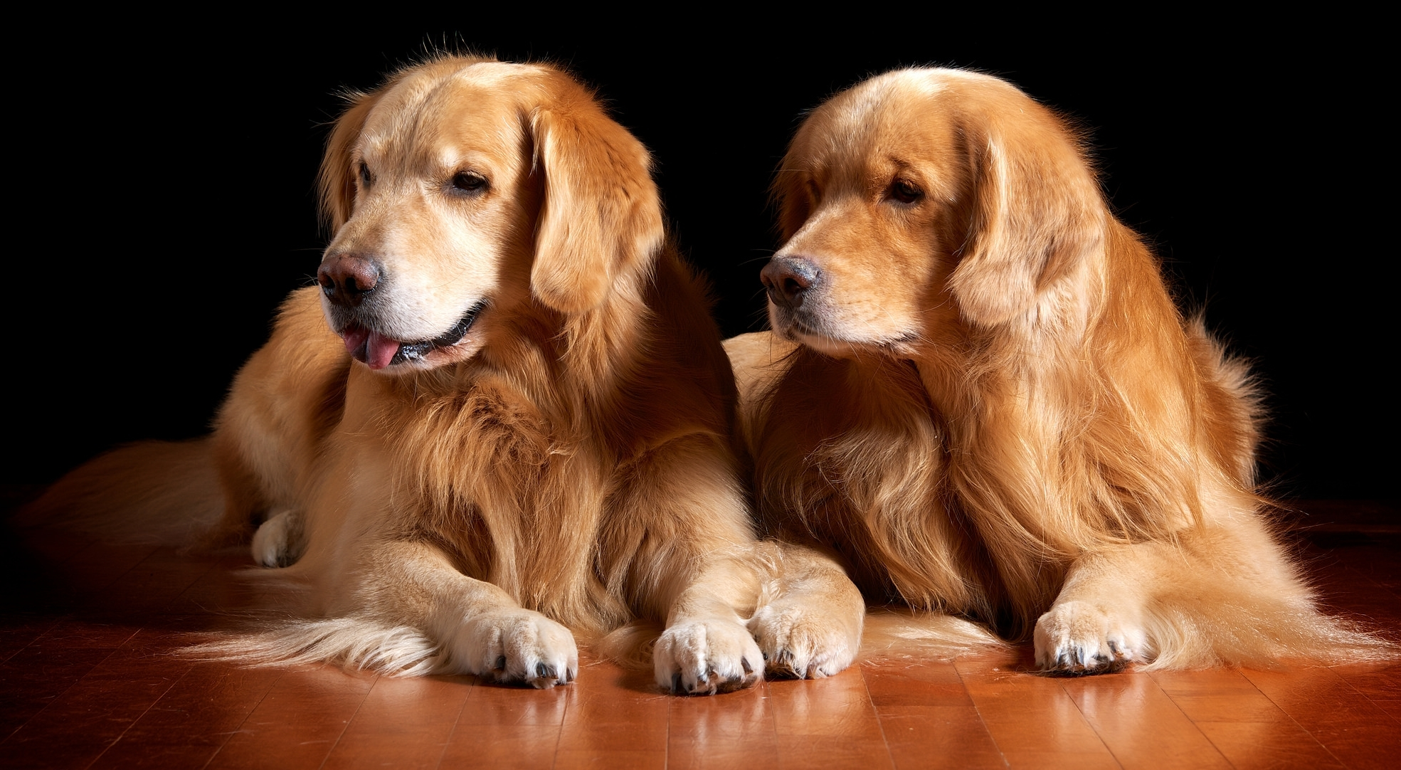 Golden Retriever Hd Wallpaper Background Image 1969x1082 Id