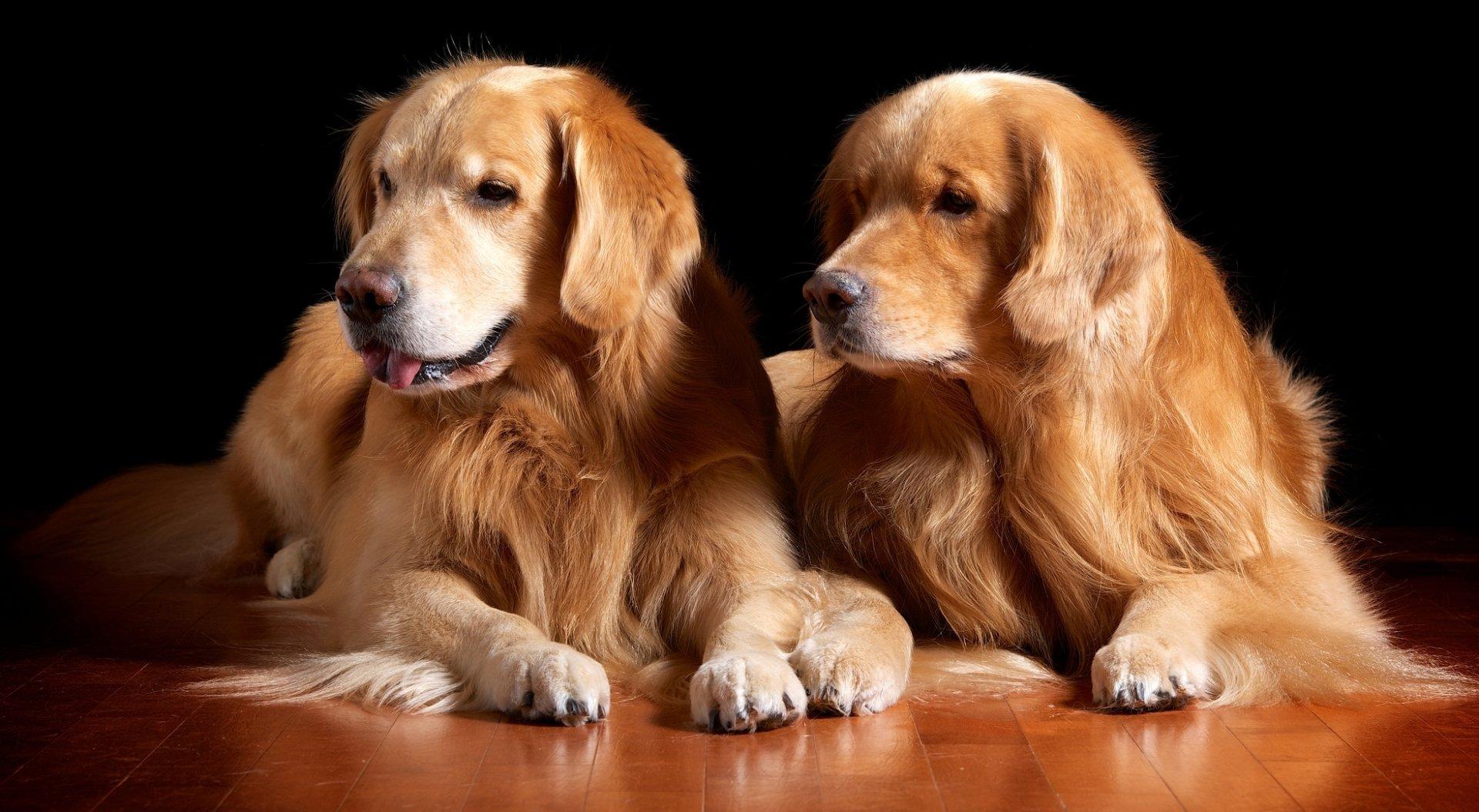 Animal - Golden Retriever  Dog Puppy Wallpaper