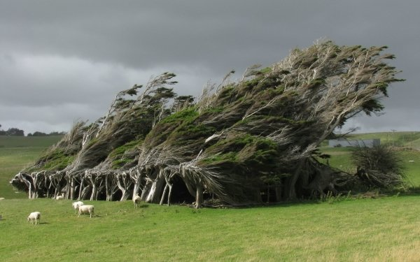 Earth Tree Trees Sheep Twisted Tree HD Wallpaper   Background Image