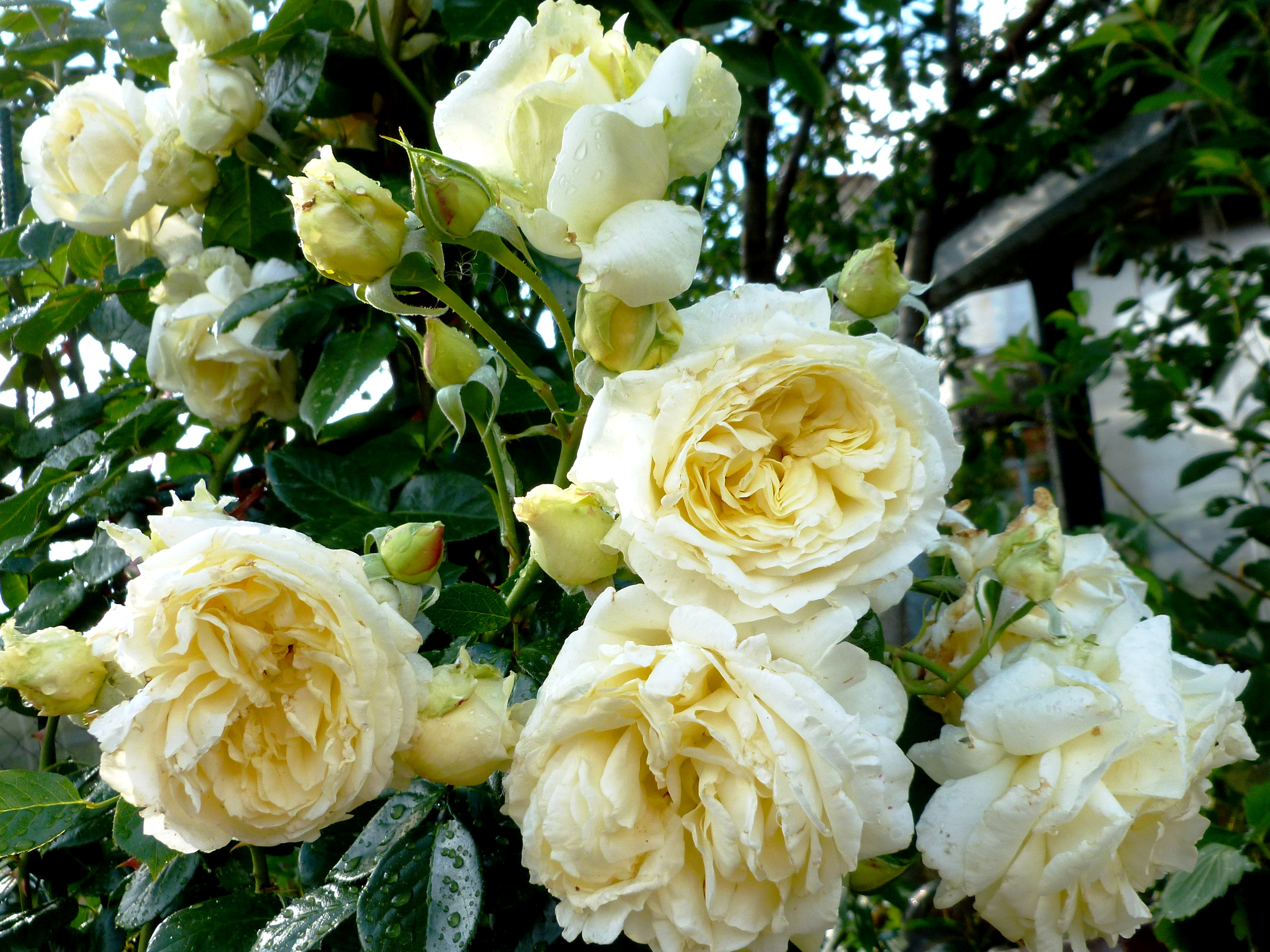 White Roses HD Wallpaper