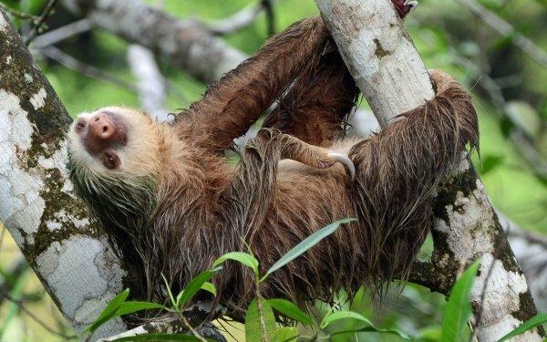 Animal Sloth HD Wallpaper   Background Image