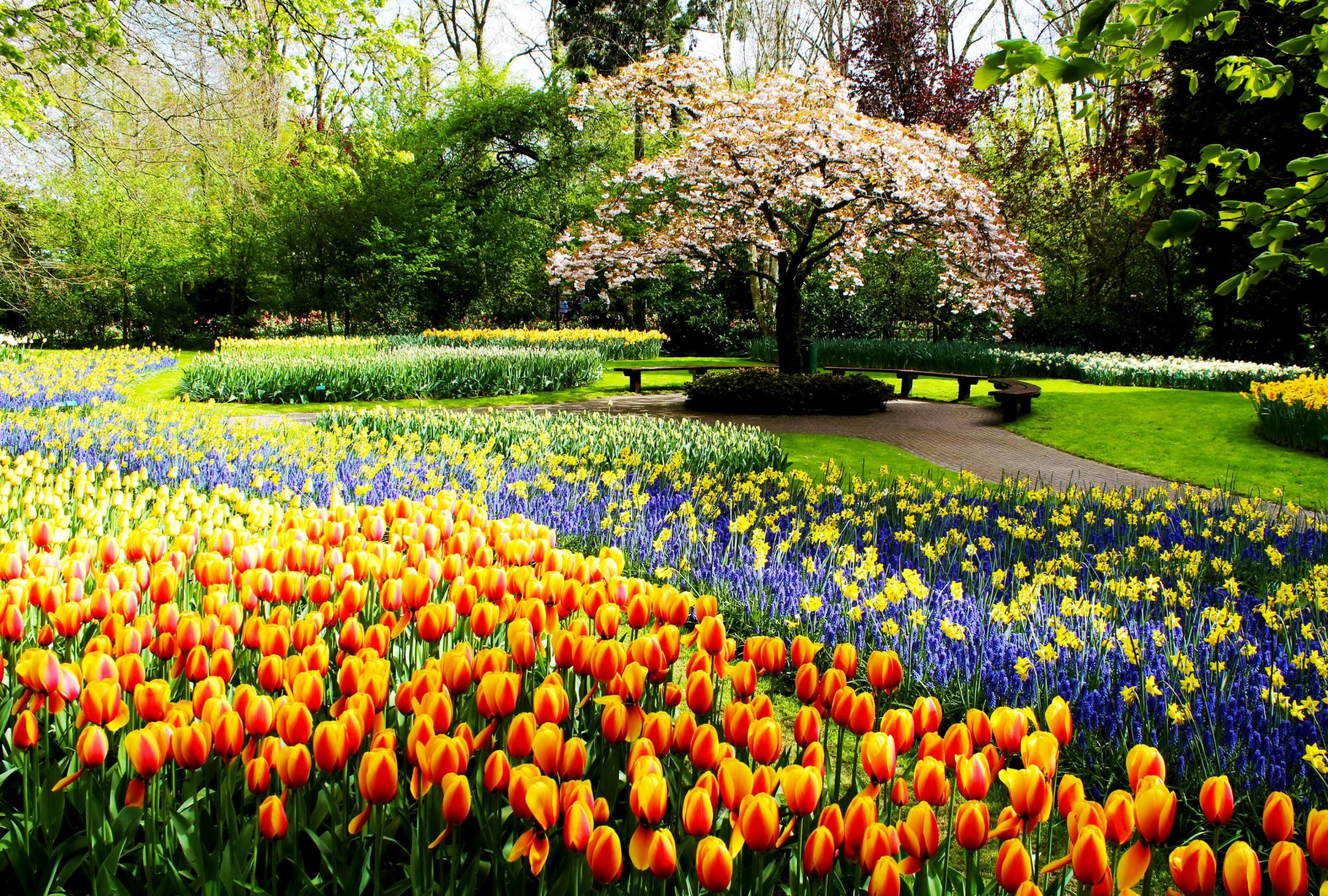 Photography - Park  Earth Spring Flower Garden Tulip Colorful Tree Path Blossom Wallpaper