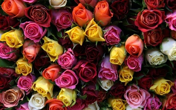 Earth Rose Flowers Colors Colorful Close-Up Flower Yellow Flower Red Flower Pink Flower Orange Flower White Flower HD Wallpaper | Background Image