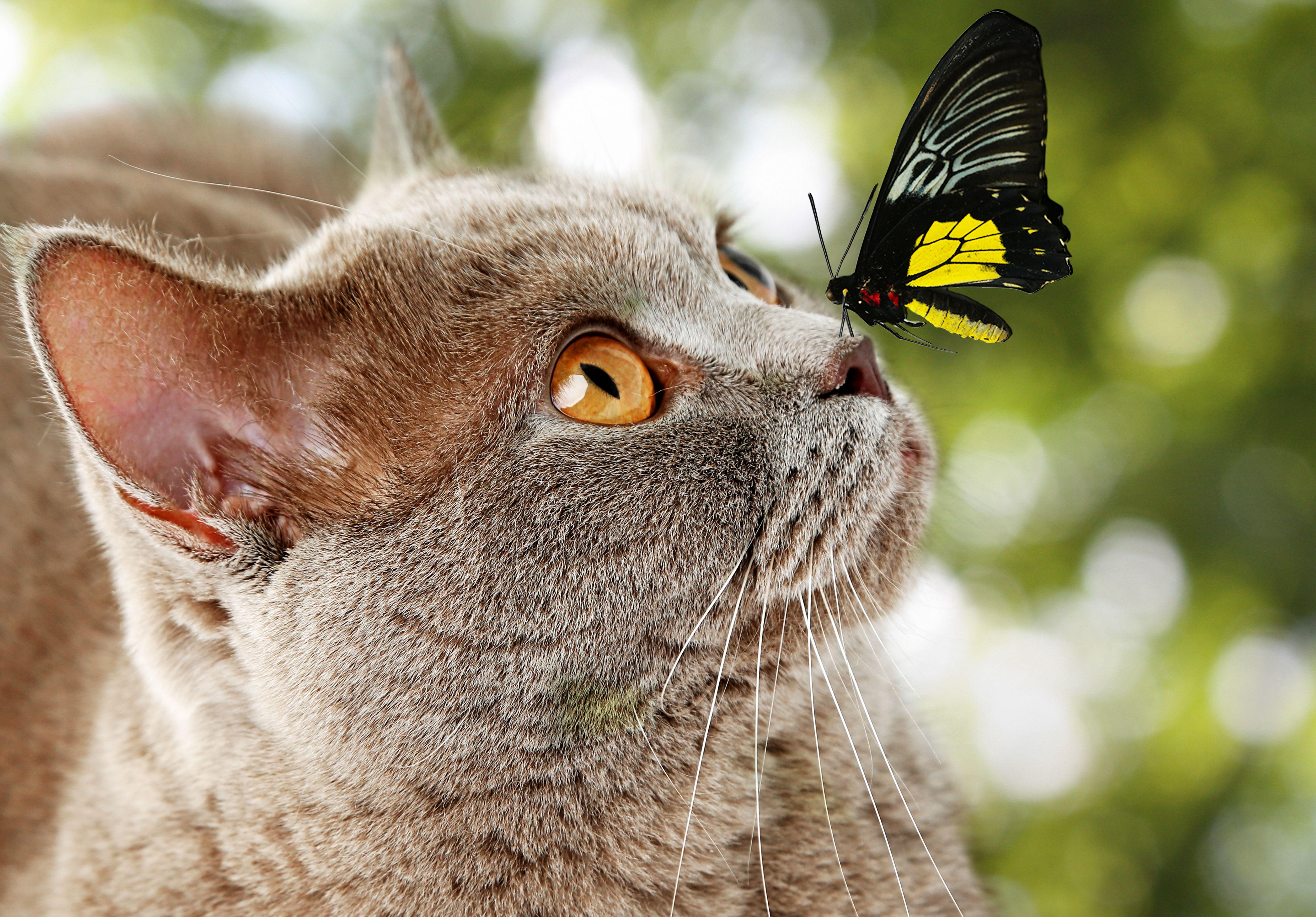Butterfly Sitting On Cat S Nose 5k Retina Ultra Hd Wallpaper