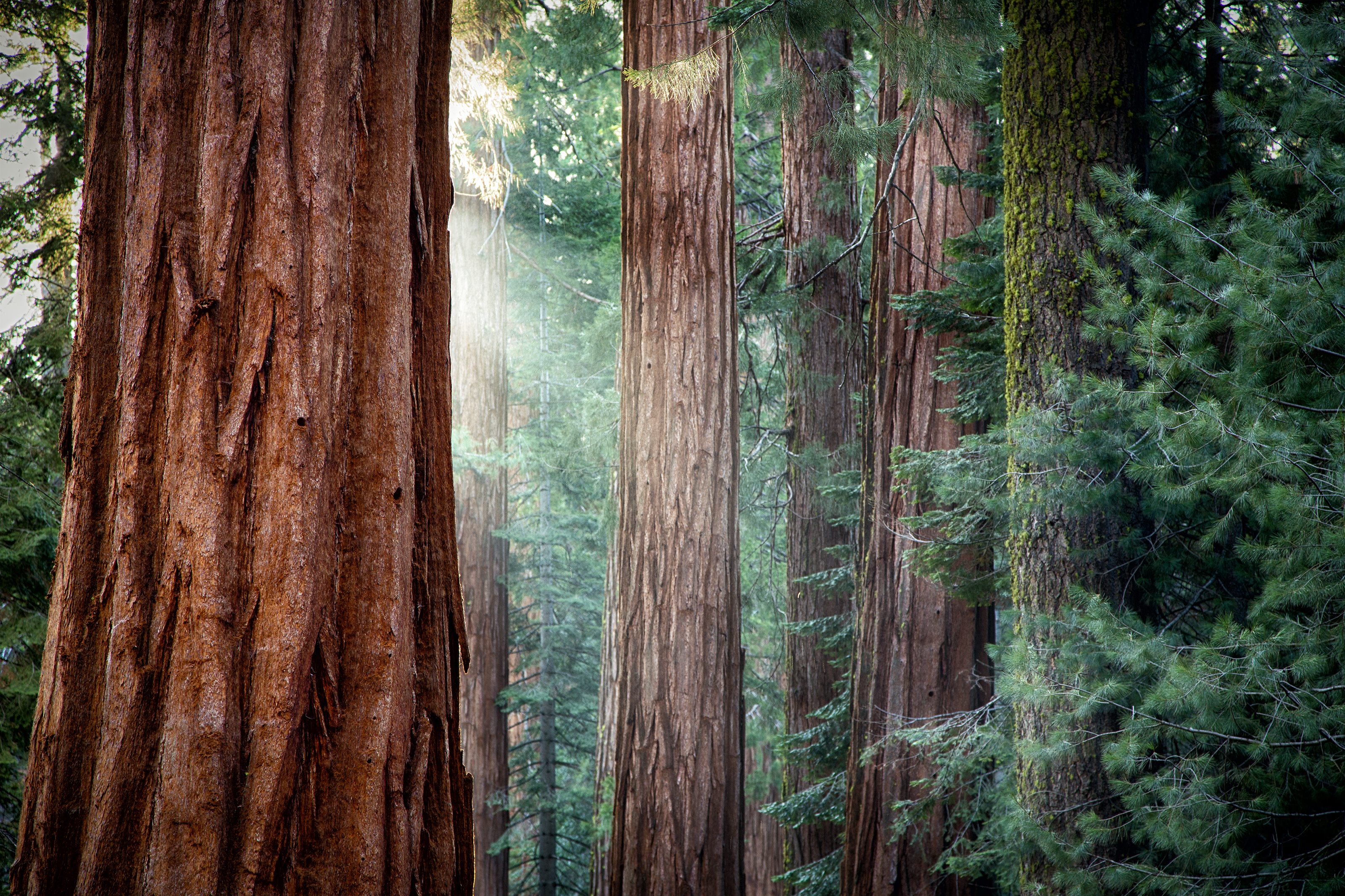 Redwood Forest HD Wallpaper   Background Image   3200x2133 ...