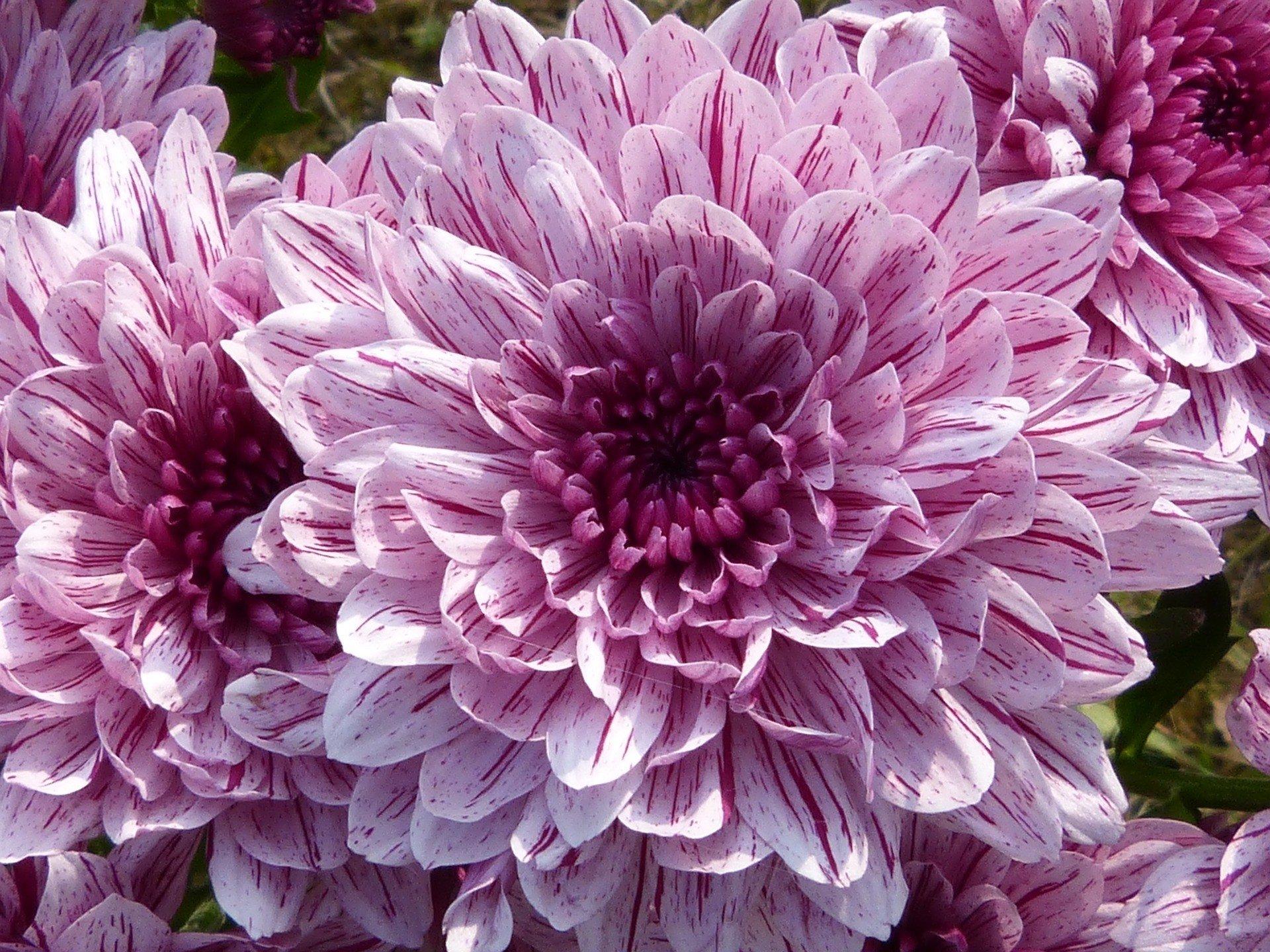 Earth - Dahlia  Earth Flower Close-Up Purple Flower Wallpaper