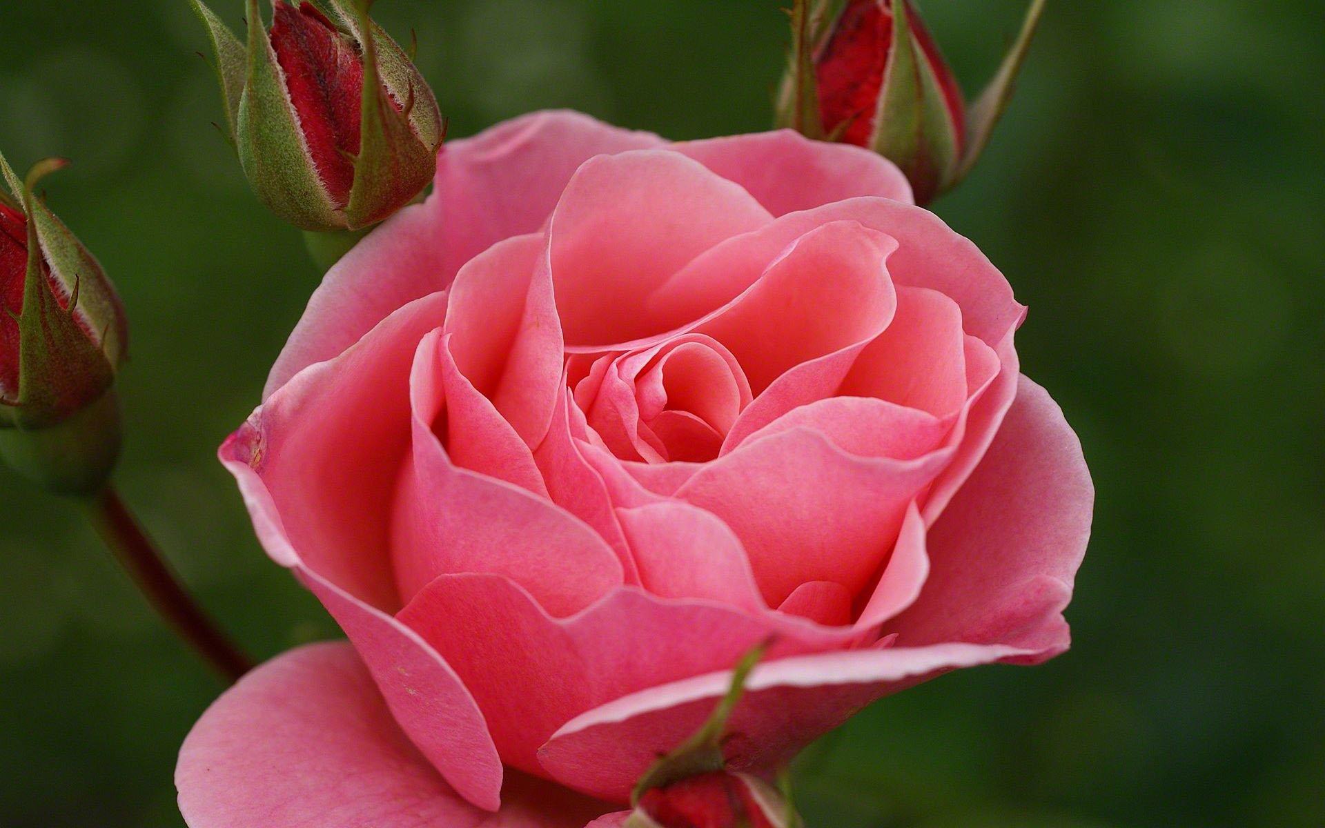 фото красивой розы черной