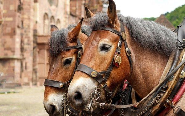 Animal Horse Head HD Wallpaper | Background Image