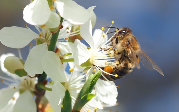 Animal Bee Insects Blossom Flower White Flower Insect HD Wallpaper | Background Image