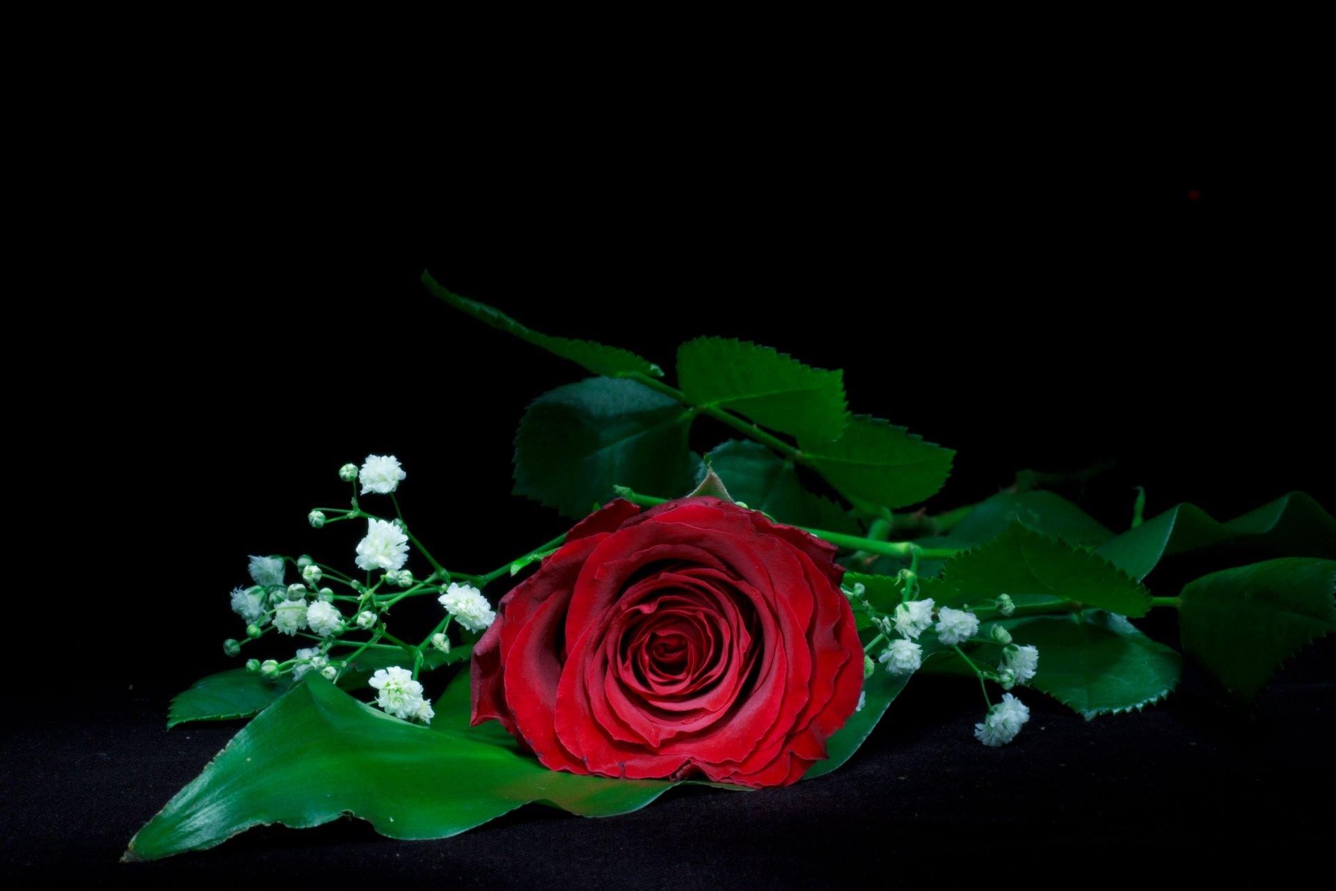 Single Red Rose 4k Ultra Hd Wallpaper Background Image