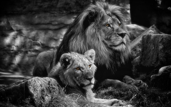 Animal Lion Cats Black & White Love Big Cat predator HD Wallpaper   Background Image
