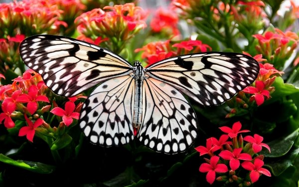 Animal Butterfly Insect Flower Red Flower Close-Up HD Wallpaper   Background Image