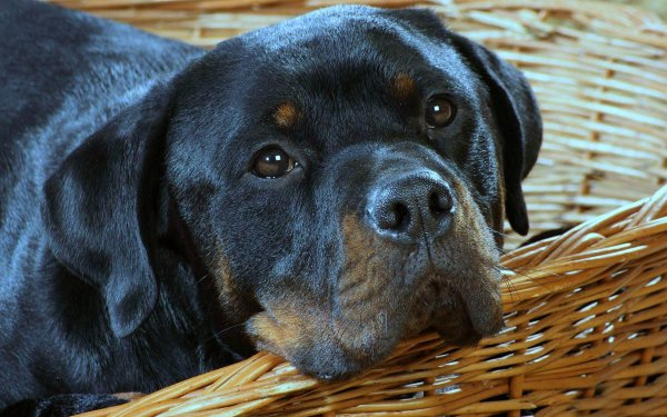 Animal Rottweiler Dogs Dog Face Muzzle HD Wallpaper | Background Image