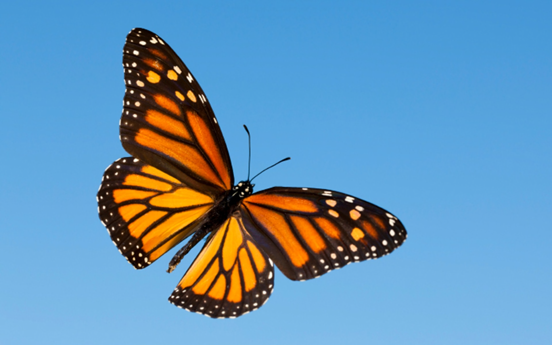 12 Monarch Butterfly HD Wallpapers | Background Images ...