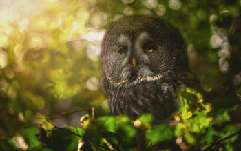 9 Great Grey Owl Hd Wallpapers Background Images