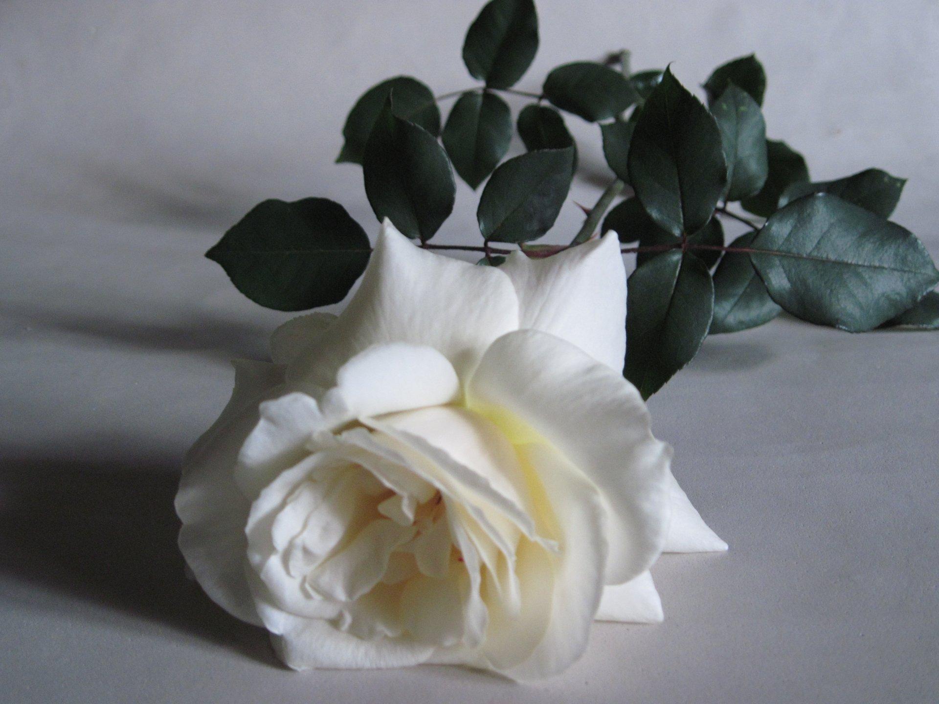 Earth - Rose  White Flower Earth Flower White Rose Wallpaper
