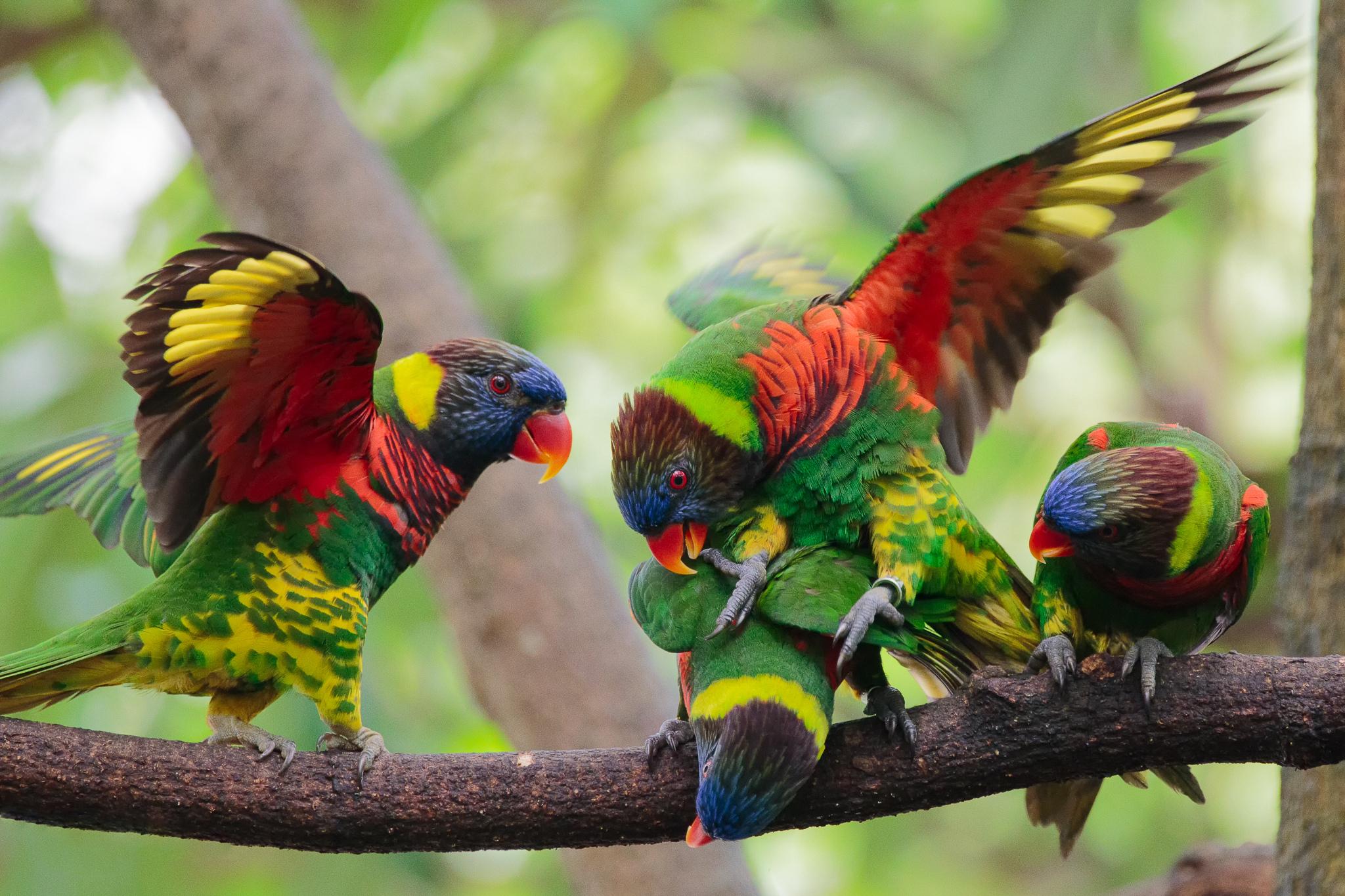 A Beautiful Couple Of Lorikeet Birds Wallpaper Hd: Colorful Rainbow Lorikeets HD Wallpaper