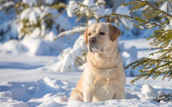 Animal Labrador Retriever Dogs Dog Winter Snow HD Wallpaper | Background Image