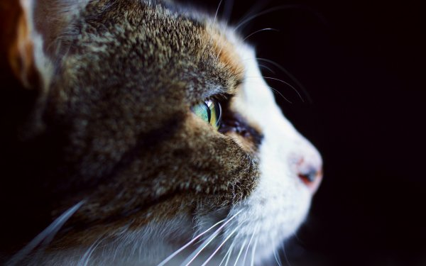 Animal Cat Cats Close-Up Eye HD Wallpaper | Background Image