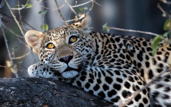 Animal Leopard Cats Big Cat Resting predator Wildlife HD Wallpaper | Background Image