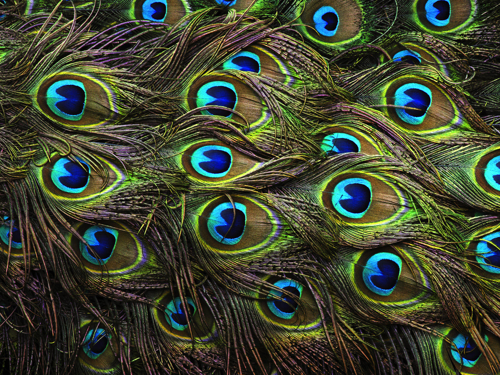 Peacock Feathers Wallpaper And Background Image