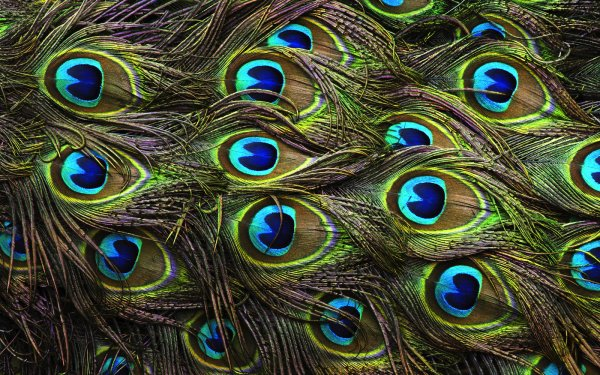 Photography Feather Peacock Colors Green HD Wallpaper   Background Image