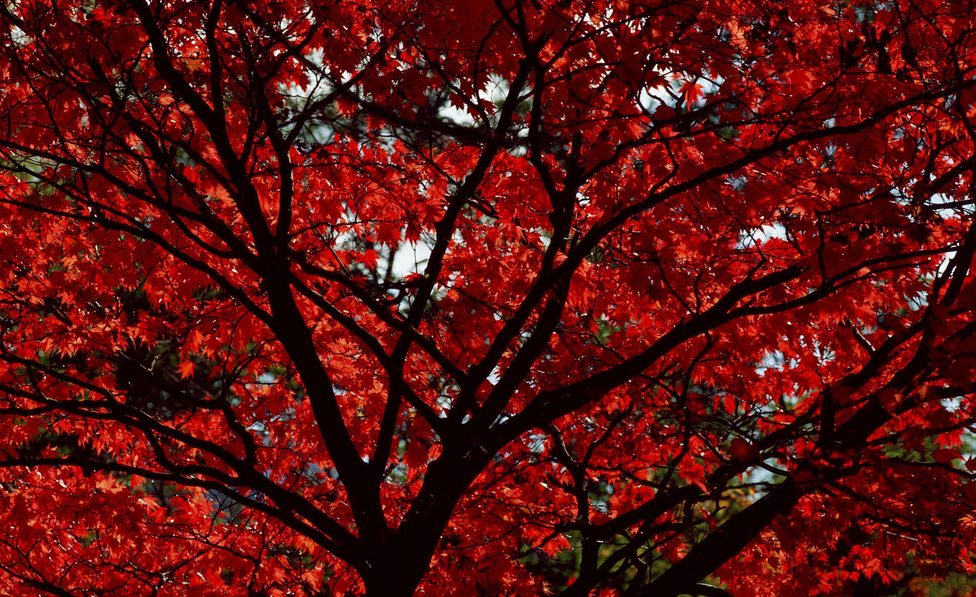 Maple Tree In Autumn Wallpaper And Background Image